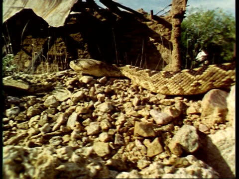 stockvideo's en b-roll-footage met cu rattlesnake slithers around on rocks, flicks tongue, usa - vachtpatroon