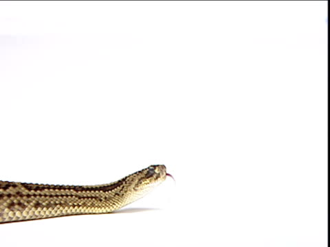 rattlesnake slithers past against white background - maul stock-videos und b-roll-filmmaterial