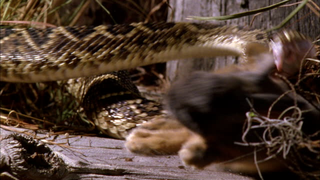 a rattlesnake strikes a rabbit. - toxic substance stock videos & royalty-free footage