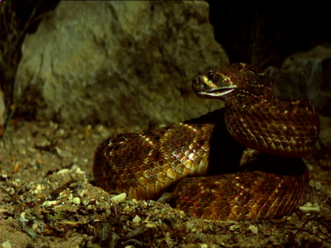 rattlesnake strikes out, usa - mouth open stock videos and b-roll footage