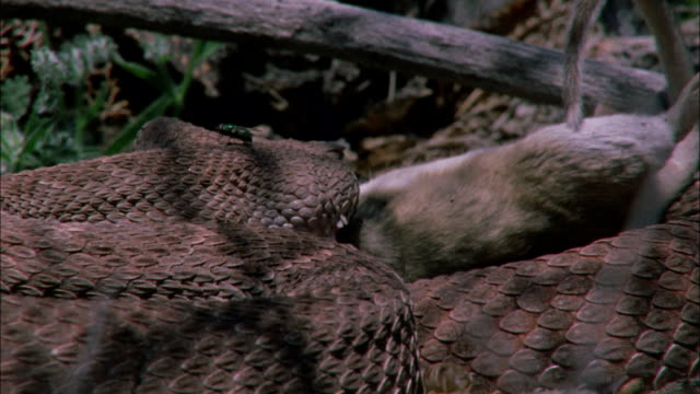 a rattlesnake swallows its prey. - biological process stock videos & royalty-free footage