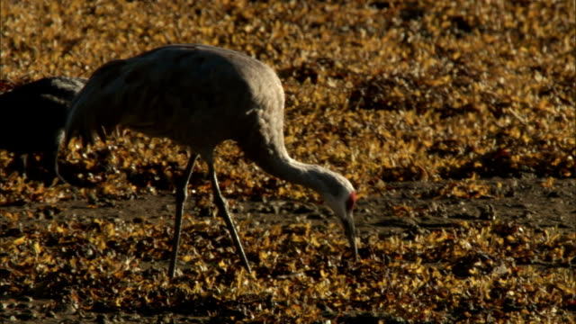 a raven and a sandhill crane forage on a seaweed-covered beach. - sandhill crane stock videos & royalty-free footage