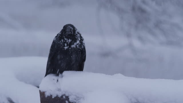 raven in heavy snowfall cu yosemite - raven stock videos & royalty-free footage