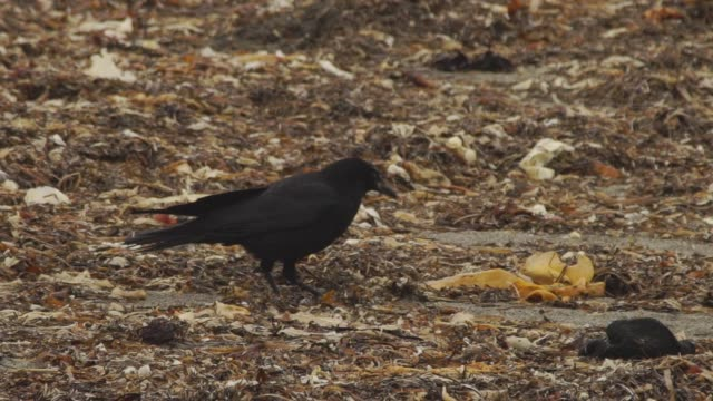 raven in kuril islands - raven stock videos & royalty-free footage