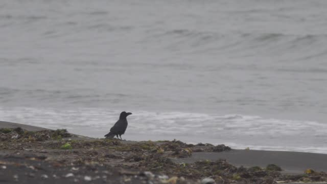 raven in kuril islands - raven stock videos and b-roll footage