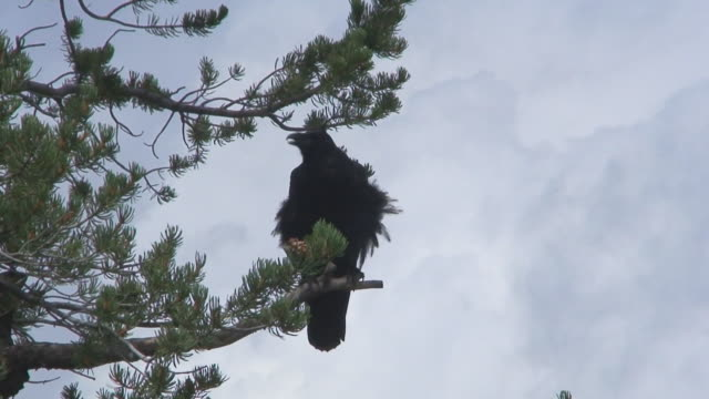 raven in pine tree - pine stock videos & royalty-free footage