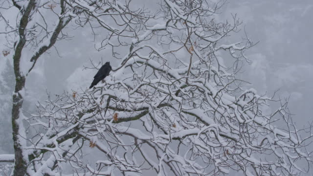 raven in tree heavy snowfall ws yosemite - raven stock videos & royalty-free footage