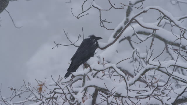 raven in tree heavy snowfall ms yosemite - raven stock videos & royalty-free footage
