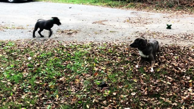 raven is an eight week old great dane puppy who has just arrived at the home of her new family she is being introduced to river the two year old dog... - week stock videos & royalty-free footage