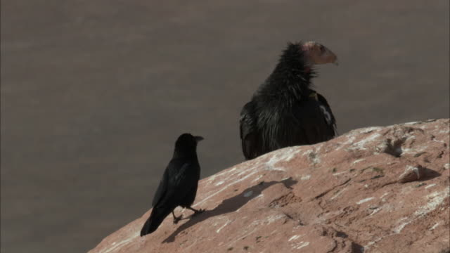 raven looking at california condor on top of cliff - california condor stock videos and b-roll footage