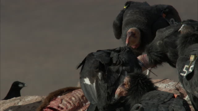 raven looking at feeding condors - california condor stock videos and b-roll footage