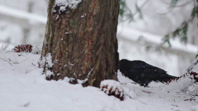raven looking for food heavy snow yosemite - raven stock videos & royalty-free footage