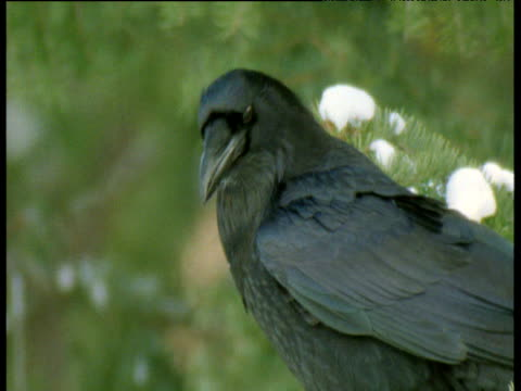 Raven looks around, calls then takes off from conifer tree, Canada