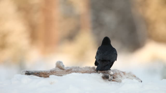 Raven on a carcass