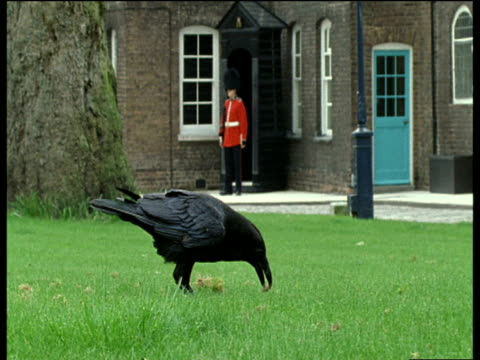 raven pecking at grass in foreground with queens guard at sentry in background, tower of london - raven stock videos & royalty-free footage