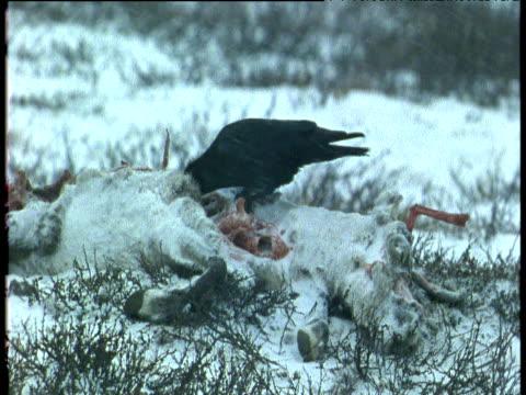 raven pecks at reindeer carcass, scandinavia - aas fressen stock-videos und b-roll-filmmaterial