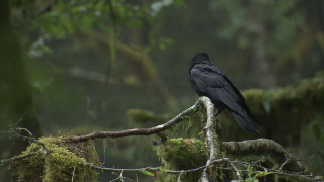 A raven perches on a mossy branch.
