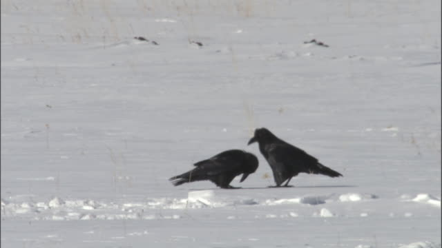 Raven (Corvus corax) preens its mate's head on snow, Yellowstone, Wyoming, USA