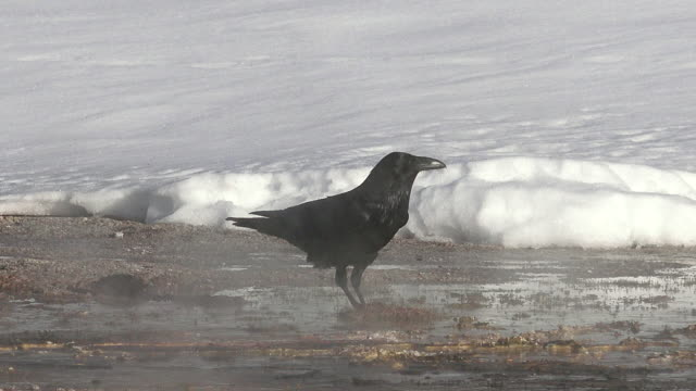 Raven searching for food in steamy geothermal area, Yellowstone National Park, Wyoming, winter