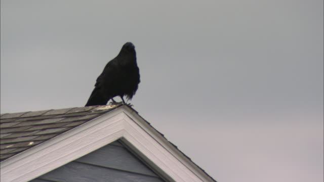 a raven sits on the corner of a rooftop. - raven stock videos & royalty-free footage
