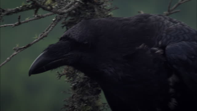 raven sitting on a tree branch