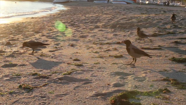 Ravens are walking on the sand