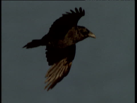 raven's feathers flutter in wind as it soars high in sky, talan island - raven stock videos & royalty-free footage