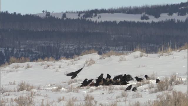 vídeos y material grabado en eventos de stock de ravens (corvus corax) feed on elk carcass in snow, yellowstone, wyoming, usa - hurgar en la basura