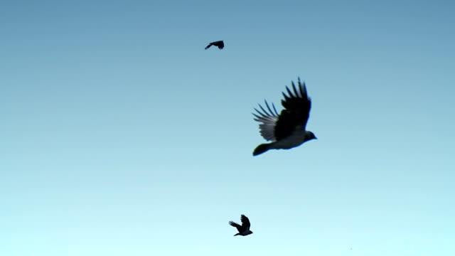 Ravens flying