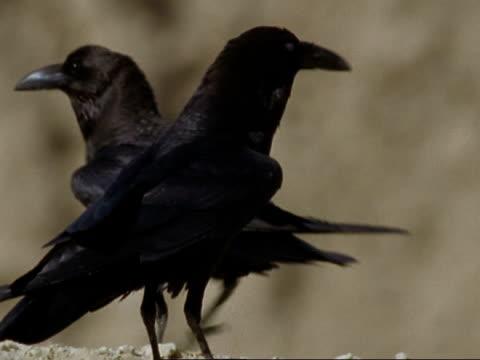 CU Ravens in desert, Oman