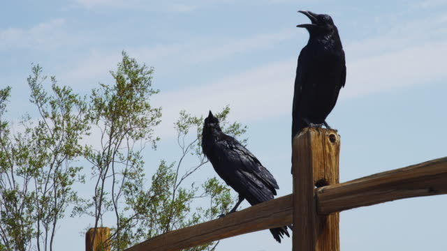 Ravens on fence, low angle
