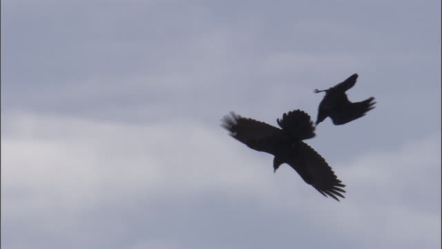ravens (corvus corax) perform courtship flight, yellowstone, usa - raven stock videos & royalty-free footage