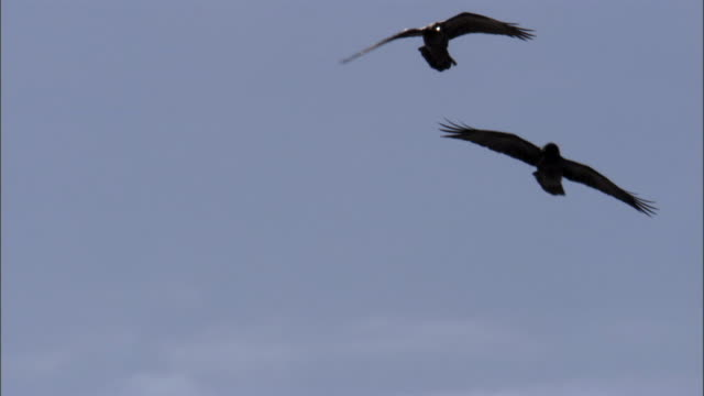 Ravens (Corvus corax) perform courtship flight, Yellowstone, USA