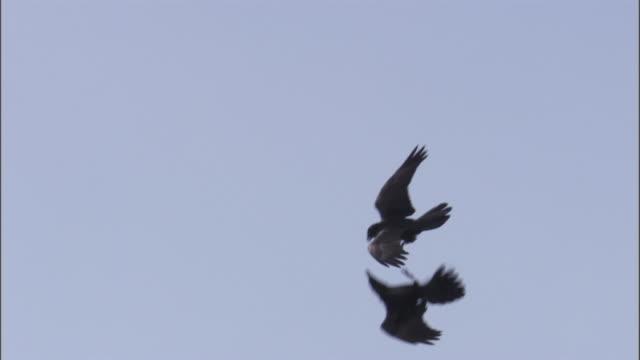 ravens (corvus corax) perform courtship flight, yellowstone, usa - 見せる点の映像素材/bロール