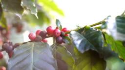 raw coffee cherries