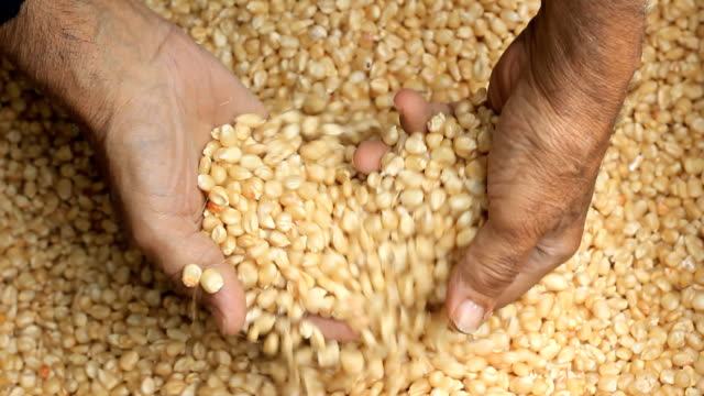 raw dry corn spills - vegetarian food stock videos & royalty-free footage