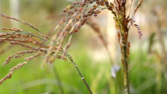 Roh lauteren Landwirtschaft Pflanze Reis