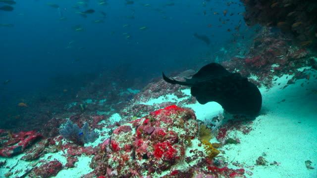 vidéos et rushes de ray circles over reef, bali. - monde marin