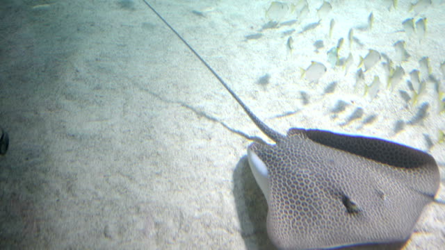 ray fish followed by a shark - stingray stock videos and b-roll footage