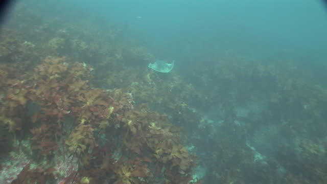 ray (order rajiformes) swimming over kelp (order laminariales) forest, new zealand, poor knights, new zealand - kelp stock-videos und b-roll-filmmaterial