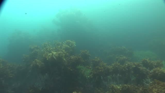 ray (order rajiformes) swimming over kelp (order laminariales) forest, new zealand, poor knights, new zealand - kelp stock-videos und b-roll-filmmaterial