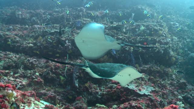 rays circle over reef, bali. - 40 sekunder eller längre bildbanksvideor och videomaterial från bakom kulisserna