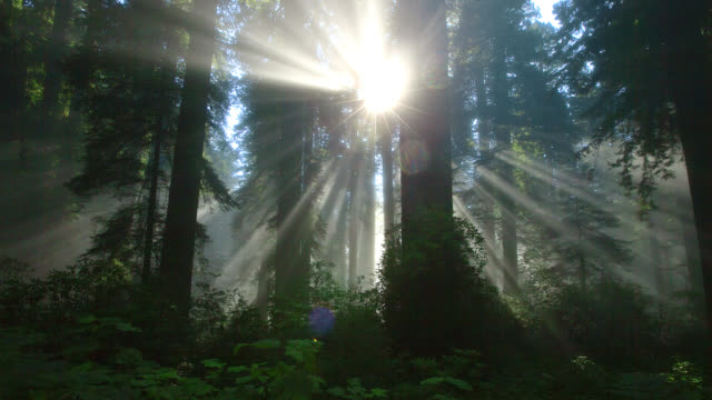 time lapse medium shot rays of rising sun shine through misty redwood forest in redwood national park - nordkalifornien stock-videos und b-roll-filmmaterial