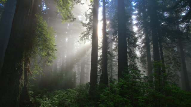 TIME LAPSE MEDIUM SHOT rays of rising sun shine through misty redwood forest in Redwood National Park