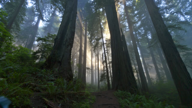 vídeos y material grabado en eventos de stock de time lapse low angle medium shot rays of sun shine through misty redwood forest in redwood national park - parque estatal