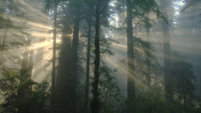 rays of sunlight filter into a misty redwood forest in california. - redwood forest stock videos and b-roll footage