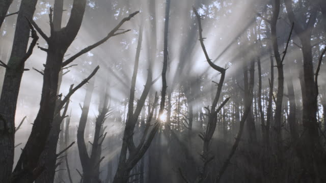 SELECTIVE FOCUS Rays of sunlight shining through barren forest trees / Hawaii, United States