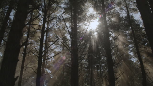 DS Rays of sunlight shining through pine forest tops / Hawaii, United States