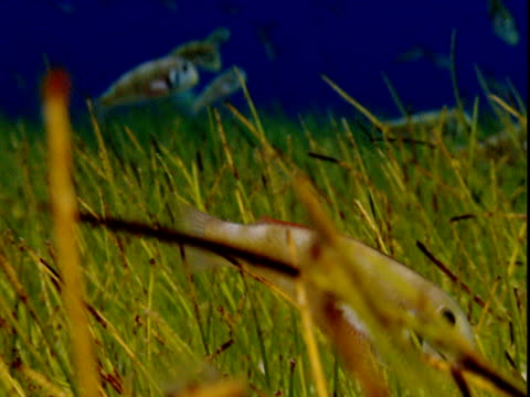 Razor fish forage amongst seagrass on the ocean floor in the Bahamas.