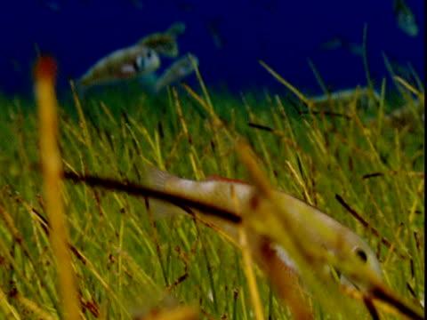 vídeos de stock e filmes b-roll de razor fish forage amongst seagrass on the ocean floor in the bahamas. - sargaço